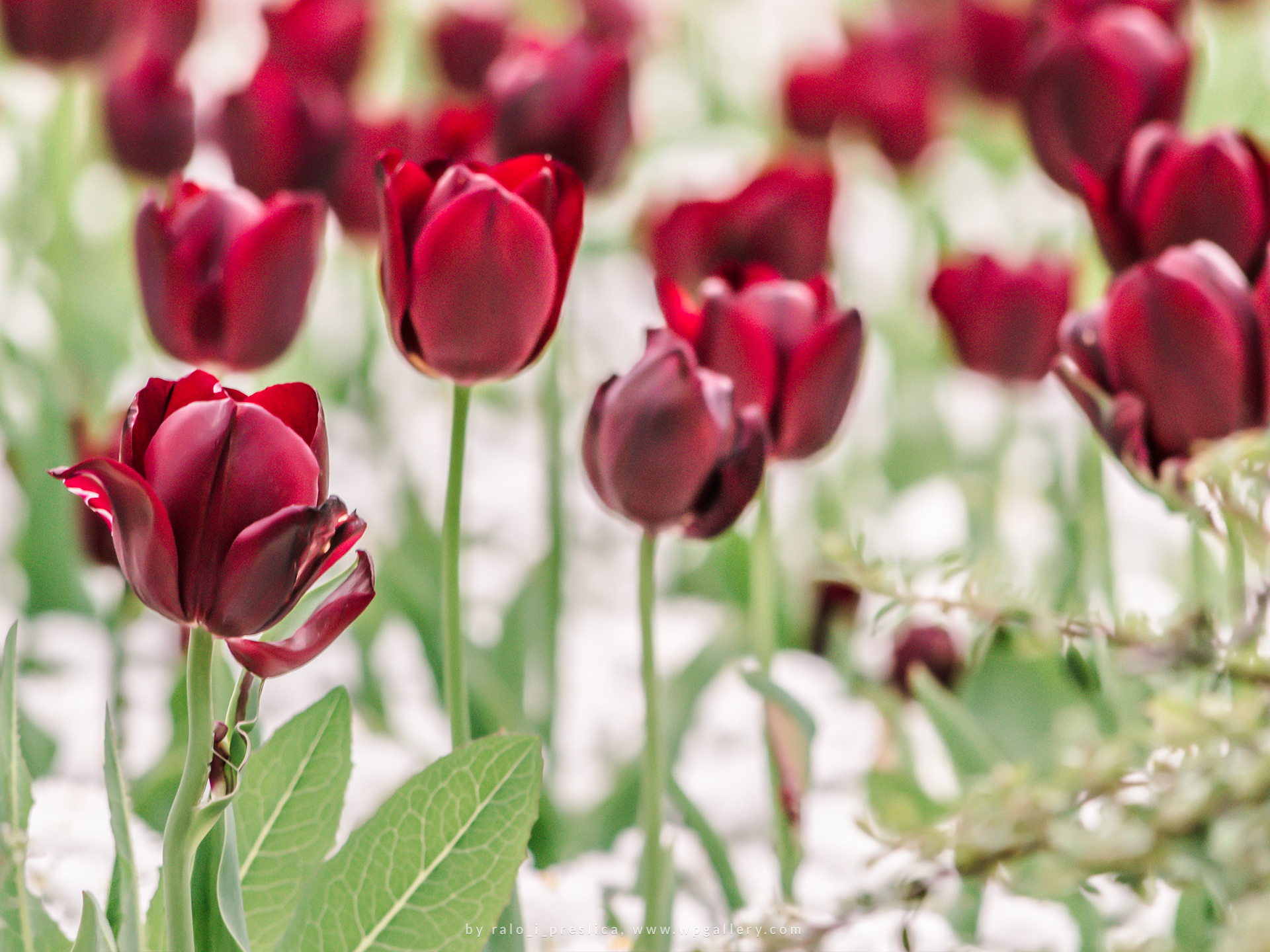 Red Tulip Field by ralo_i_preslica